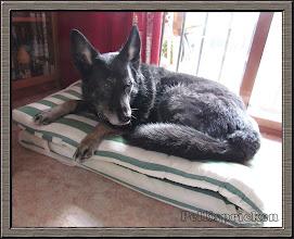 Photo: Lilla Zita har hittat en ny hundsäng, mjuk och skön. Fast det var inte meningen att hon skulle ligga där. Vi tog in dynan till solsängen pga att den var lite fuktig