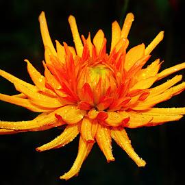 Dalhia n000227 by Gérard CHATENET - Flowers Single Flower