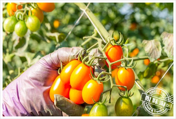 美濃澄蜜香玉女小番茄15