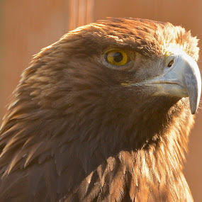 Morning Light by  J B  - Animals Birds ( eagle, morning light, golden eagle, portrait of an eagle )