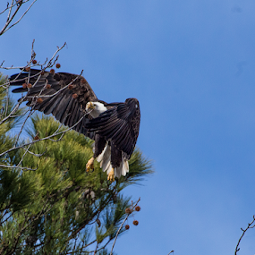 Eagle on the Wing by Terri Schaffer - Animals Birds