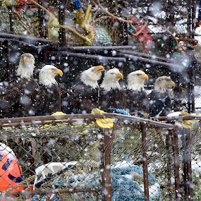 Council of seven by Capt Jack - Animals Birds ( amazing, deadliest catch, cornelia marie, nature, alaska, unusual, fishing, bald eagles, eagles )
