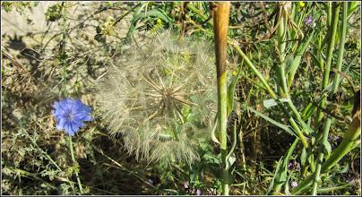 Photo: Barba caprei (Tragopogon dubius....) - de pe Str. Cheii - 2017.07.18