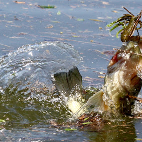 Largemouth Launch by Leslie Hendrickson - Animals Fish ( moman lures, water, missouri, missouriphotograher, largemouth, fish, bass, freshwater bass, truman lake, caught, animal )