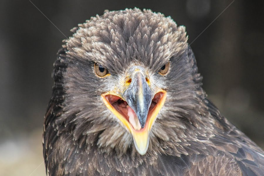 Eagle by Garry Chisholm - Animals Birds ( raptor, young, bird of prey, nature, bald eagle, garry chisholm )