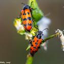 Checkered Beetles
