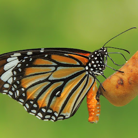 Stripped tiger butterfly by  Priyanka Das - Animals Insects & Spiders ( nature, butterfly,  )