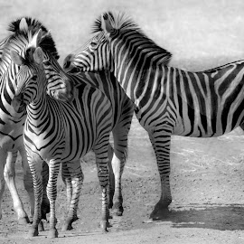 At Letaba Lake by Claudia Lothering - Black & White Animals