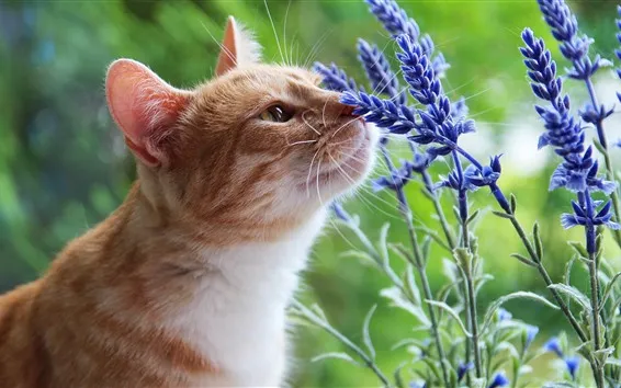 lavender and cats