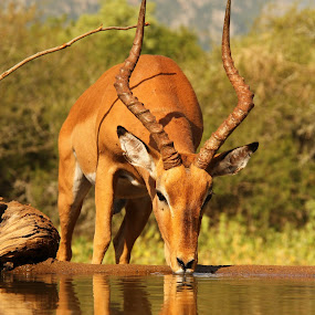 Reflection by Romano Volker - Animals Other Mammals