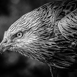 Red Kite by Garry Chisholm - Black & White Animals ( bird, garry chisholm, nature, wildlife, prey, raptor )