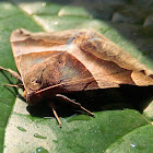 Noctuoid Moth