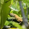 Skyros wall lizard (Τοιχόσαυρα της Σκύρου)