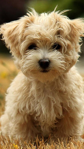 Puppies Live Wallpaper ud83dudc36 Cute Puppy Pictures screenshots 3