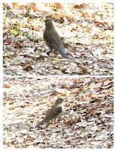 Photo: 撮影者:佐藤サヨ子 シロハラ タイトル:散り行く花びらの中に 観察年月日:2015年4月3日 羽数:3羽 場所:高幡台団地緑地 区分:行動 メッシュ:武蔵府中3H コメント:この3羽は同じ所にいたのではなく、それぞれの居場所にいたように思われました。最後に出会ったシロハラはツグミと一緒に仲良く地面を突いていました。