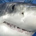 shark free live wallpaper icon