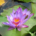 Blue Star Water Lily