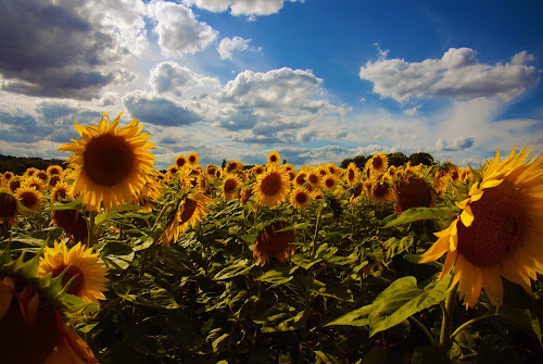 Looking 4 the summer by Michal Fokt - Flowers Flowers in the Wild ( clouds, sky, sunflower,  )