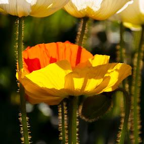 Yellow Poppy by Jan Crawford - Flowers Single Flower ( spring flowers, poppy, yellow, flowers, spring )