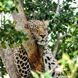 Sleeping beauty by Jurgen van Staden - Novices Only Wildlife ( big cat, cat, novice, amateur, wildlife, sleeping, leopard,  )