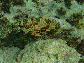 Photo: Epinephelus merra (Honeycomb Grouper), Siquijor Island, Philippines