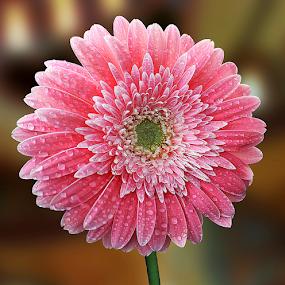 by Biljana Nikolic - Flowers Single Flower ( gift, natue, blossom.gentle, beautiful, nice, bloom, waterdrops, love, present, pink.gerbera, lovely, clarity, freshness, wet, garden, flower )