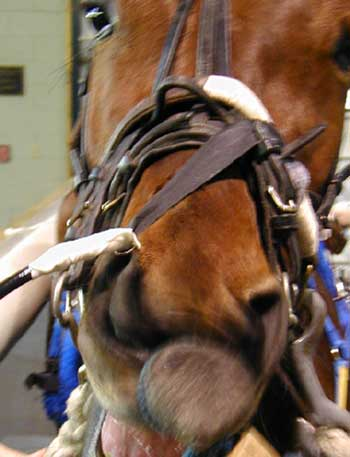 The endoscope fixed with Velcro to the noseband of the horse's halter.