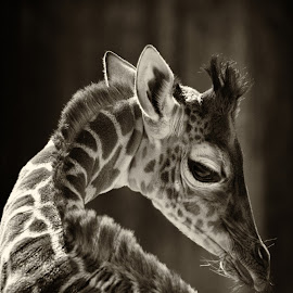 by Stacey Bates - Black & White Animals ( spots, neck, giraffe,  )
