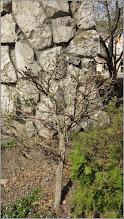 Photo: Turda - Piata Republicii - din  parcul catedralei,  Glicina (Wisteria sinensis) - 2019.04.12