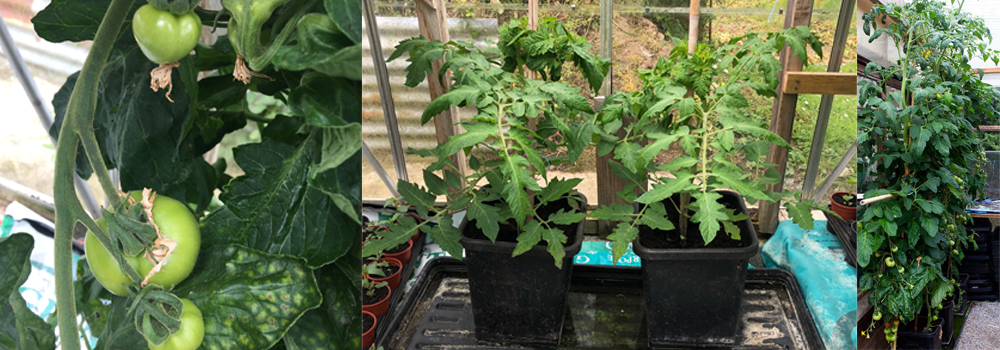 Delicious tomatoes can be grown in greenhouses, in grow bags and in containerts.