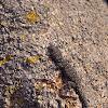 Kotschy's Gecko