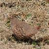 Grey Partridge (hen)