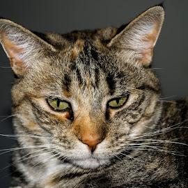 Zeaha Cat. by Carola De Jager - Animals - Cats Portraits