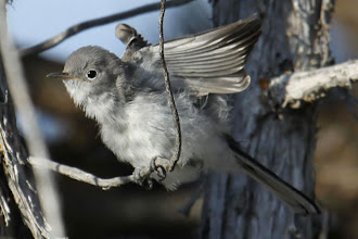 Photo: Blue-gray Gnatcatcher