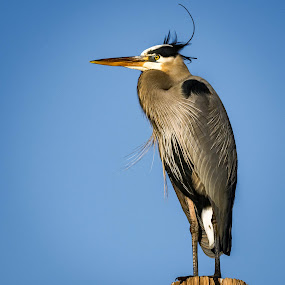 Stoic by Ronnie Sue Ambrosino - Animals Birds ( great blue heron, stoic, blue, perched, heron,  )
