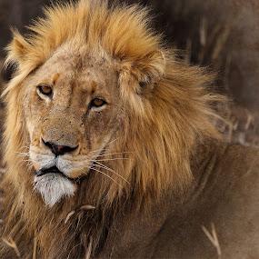 Lion king by Johann Fouche - Animals Lions, Tigers & Big Cats ( lion king, kruger national park, king, big cat, lion )