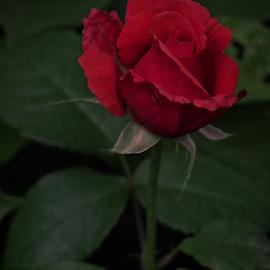 by Darrell Tenpenny - Flowers Flower Buds
