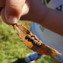 Oak Leaf Midge Gall