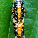 Common mime Caterpillar