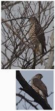 Photo: 撮影者:粕谷和夫 ツミ タイトル:野鳥の集うスポットにツミ 観察年月日:2014年2月3日 羽数:1羽 場所:浅川左岸・長沼橋上流の通称さいかち池 区分:猛禽 メッシュ:八王子9H コメント:さいかち池は野鳥の集うスポット。この日はコガモ91羽、バン2羽、オオバン4羽、カイツブリ1羽、カワセミ1羽、ウグイス1羽、オナガ27羽ジョウビタキ♂1羽がいて、ツミは葉影に隠れるように潜んでいた。ツミはその後でニセアカシアの林に移動したが、コガモには大きな混乱は生じなかった。