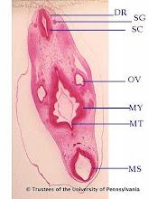 Photo: Nervous System (blue labels): DR - Dorsal Root OV - Otic Vesicle MS - Mesencephalon MT - Metencephalon MY - Myelencephalon SC - Spinal Cord SG - Spinal Ganglia