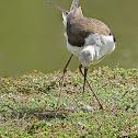black-winged stilt, common stilt, or pied stilt