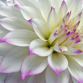 Softly by Shelly Wetzel - Nature Up Close Flowers - 2011-2013 ( macro, pink and white, dahlia, floral, flower )