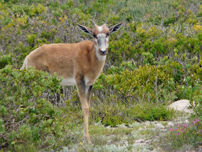 Photo: Buntböcke (D. pygargus pygargus), West Coast NP