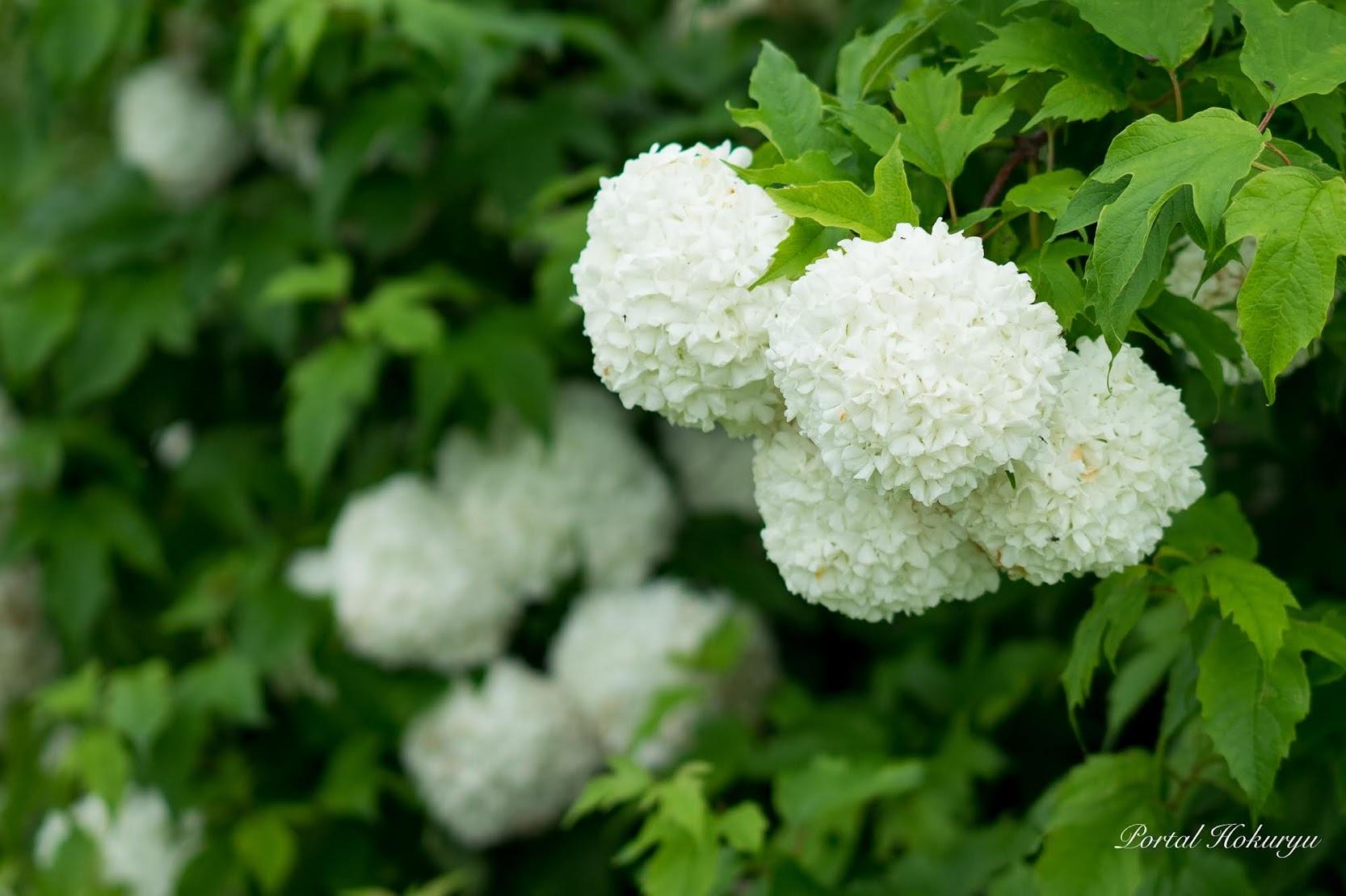 白い手鞠のような花