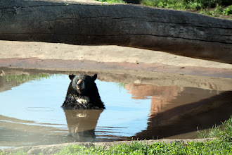 Photo: 07/06/2013 - Bear Country Park, Rapid City, South Dakota - Black Bear.  Who Me, really???