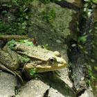 Marsh (or Lake) frog