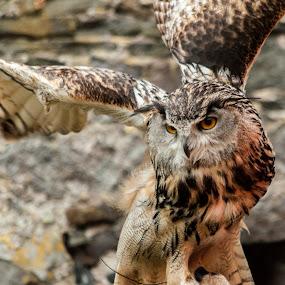 Owl in flight by Sean Kirkhouse - Uncategorized All Uncategorized ( bird, flight, wings, owl,  )