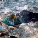 Abudjubbe's wrasse