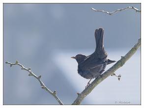 Photo: Amsel weiblich, auf Ginkgobaum (Ginkgo biloba)